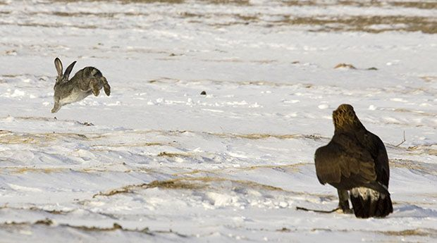 A hare runs away from a tame golden eagle