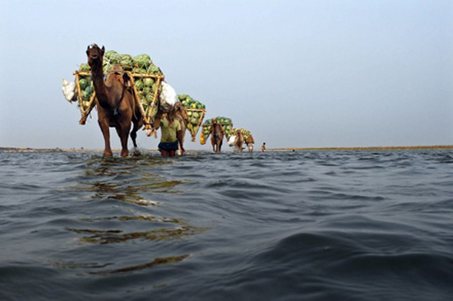 Farmers use camels to transport their watermelons across the river Ganges at Neevna village on the o